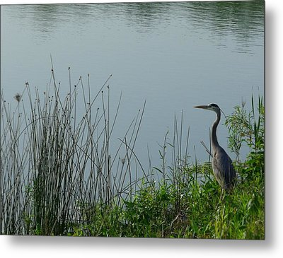 Blue Heron Metal Print by Anna Villarreal Garbis
