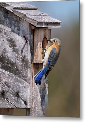 Bluebird And Nest Box Metal Print by Betty LaRue