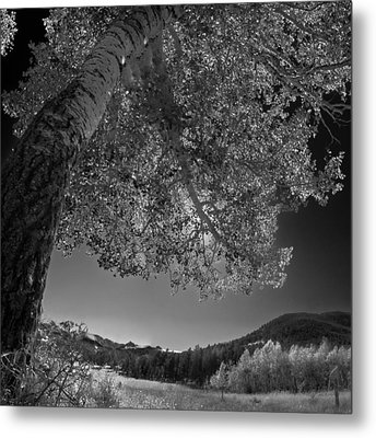Colorado Aspen Black And White Metal Print by Dave Dilli