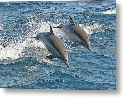 Common Dolphins Leaping Metal Print by Tim Melling