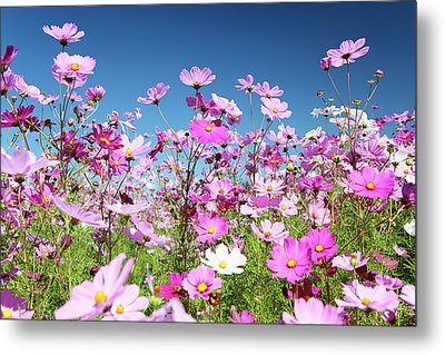 Cosmos Flowers Metal Print by Neil Overy