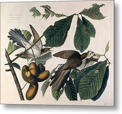 Cuckoo Metal Print by John James Audubon
