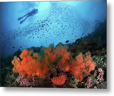 Diver And Soft Corals In Pescador Island Metal Print by Nature, underwater and art photos. www.Narchuk.com