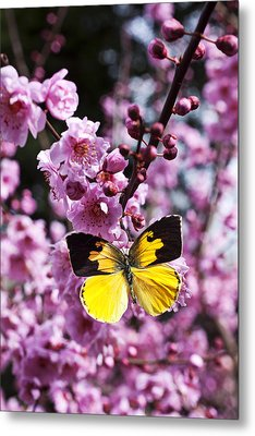 Dogface Butterfly In Plum Tree Metal Print by Garry Gay