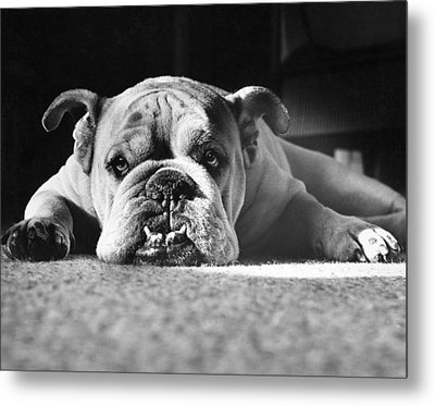 English Bulldog Metal Print by M E Browning and Photo Researchers