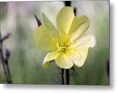 Evening Primrose In The Morning Metal Print by MH Ramona Swift