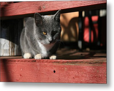 Farm Cat Metal Print by Tacey Hawkins