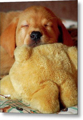 First Puppy Snooze Metal Print by Diane E Berry