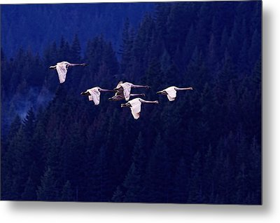 Flight Of The Swans Metal Print by Sharon Talson