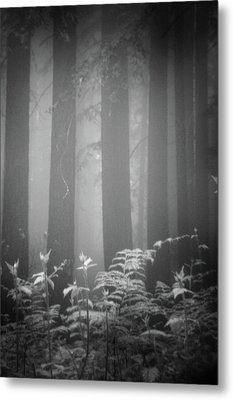 Fog And Ferns In Redwoods Forest Metal Print by Cathy Clark aka CLCsPics