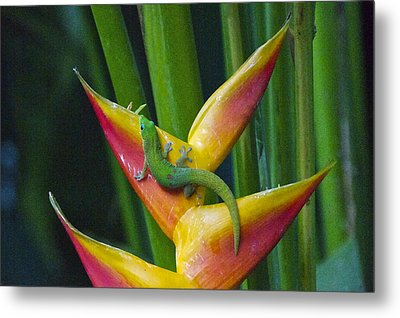 Gold Dust Day Gecko Metal Print by Sean Griffin
