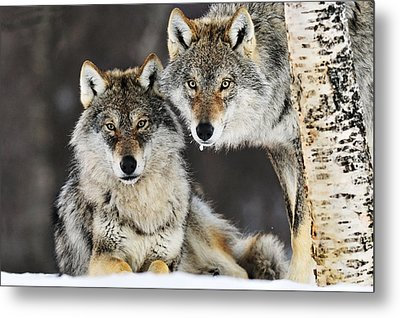 Gray Wolf Canis Lupus Pair In The Snow Metal Print by Jasper Doest