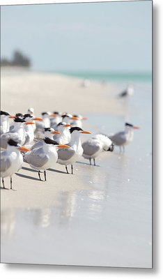 Group Of Terns On Sandy Beach Metal Print by Angela Auclair