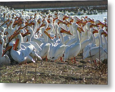 Herd Of Pelicans Metal Print by Shari Morehead