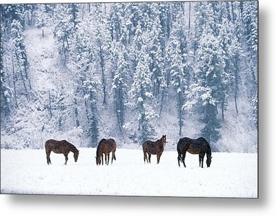 Horses In The Snow Metal Print by Alan and Sandy Carey and Photo Researchers