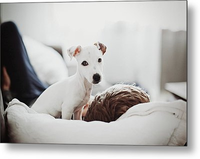Jack Russell Terrier Puppy With His Owner Metal Print by Lifestyle photographer