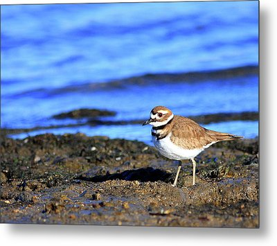 Killdeer . 40d4101 Metal Print by Wingsdomain Art and Photography