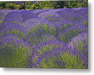Lavender Field Metal Print by Garry Gay