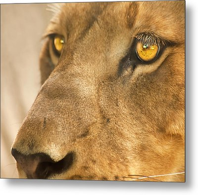 Lion Face Metal Print by Carolyn Marshall
