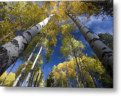 Looking Up At Autumn Aspens Metal Print by Ed Book