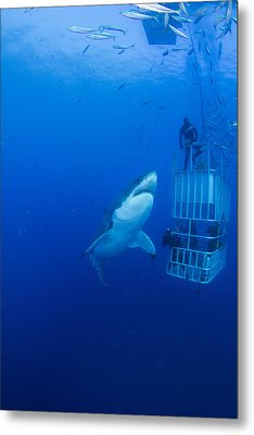 Male Great White With Cage, Guadalupe Metal Print by Todd Winner