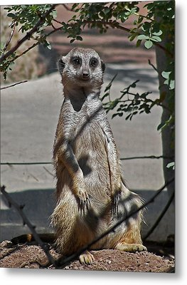 Meerkat 2 Metal Print by Ernie Echols