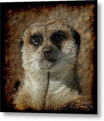 Meerkat 4 Metal Print by Ernie Echols