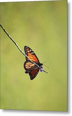 Monarch And Natural Green Canvas Metal Print by Carol Groenen