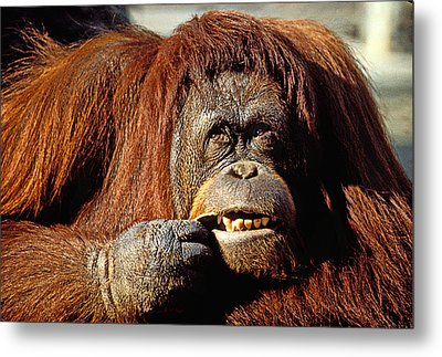 Orangutan  Metal Print by Garry Gay