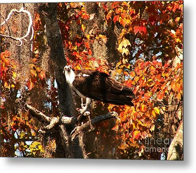 Osprey In Fall Metal Print by Theresa Willingham