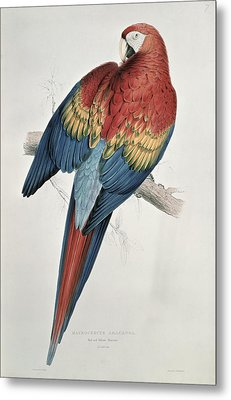 Red And Yellow Macaw  Metal Print by Edward Lear