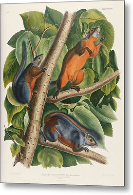 Red Bellied Squirrel  Metal Print by John James Audubon