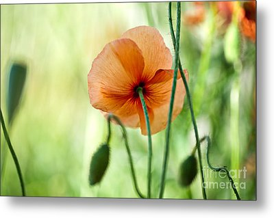 Red Corn Poppy Flowers 02 Metal Print by Nailia Schwarz