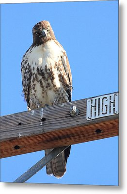 Red Tailed Hawk . What You Lookin At Metal Print by Wingsdomain Art and Photography