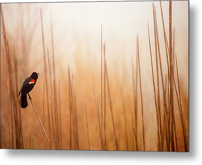 Red-winged Black Bird In Song Metal Print by Michael Lawrence Photography