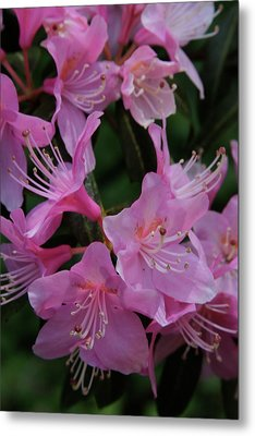 Rhododendron In The Pink Metal Print by Laddie Halupa