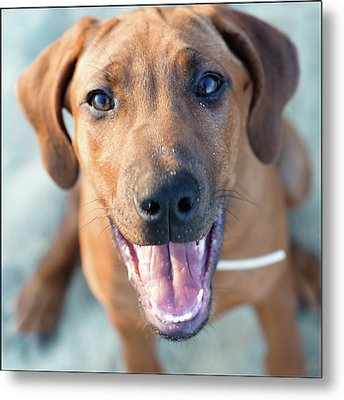 Ridgeback Puppy Metal Print by Maarten van de Voort Images & Photographs