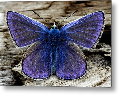 Small Blue Butterfly On A Piece Of Wood In Ireland Metal Print by Pierre Leclerc Photography