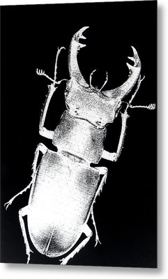 Stag Beetle Metal Print by Gabriela Insuratelu