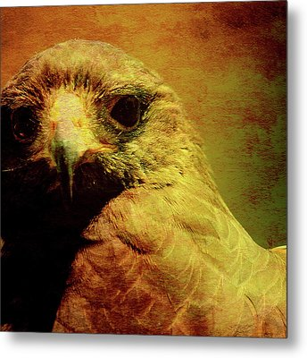 The Hunter . Portrait Of A Hawk . Square . 40d7877 Metal Print by Wingsdomain Art and Photography