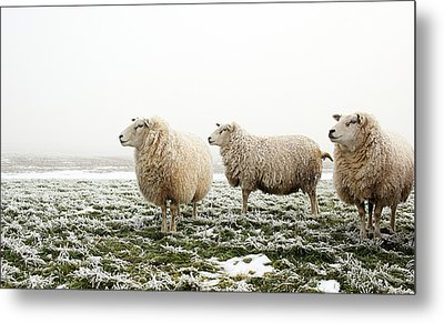 Three Sheep In Winter Metal Print by MarcelTB