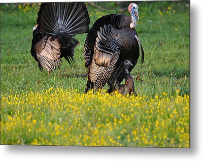 Turkey Love Metal Print by Todd Hostetter