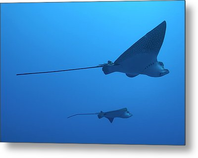 Two Swimming Spotted Eagle Rays Underwater Metal Print by Sami Sarkis