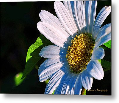 White Daisy Metal Print by William Lallemand