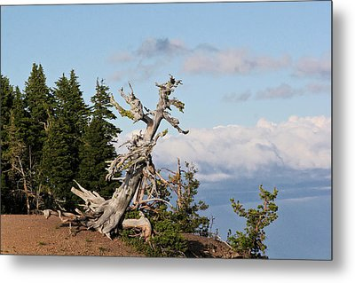 Whitebark Pine At Crater Lake's Rim - Oregon Metal Print by Christine Till