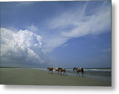 Wild Horses Roaming A Georgia Coast Metal Print by Michael Melford