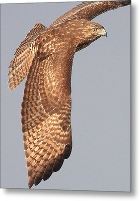 Wings Of A Red Tailed Hawk Metal Print by Wingsdomain Art and Photography