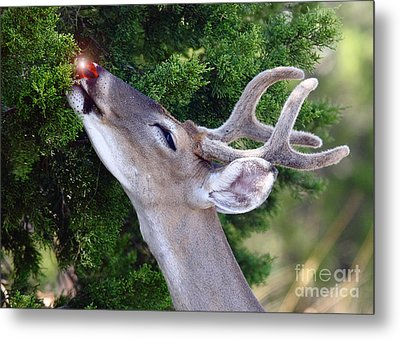 Your Nose So Bright Metal Print by Robert Frederick