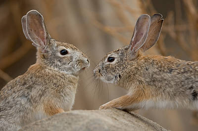 Desert Cottontail Rabbits Poster by Joel Sartore