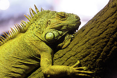 Green Iguana Of Nature Park Poster by Victor Estevez
